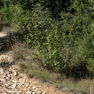 Photographie n°2334152 du taxon Sorbus L.