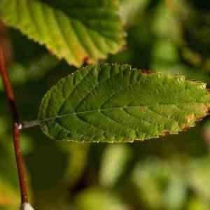 Photographie n°2334154 du taxon Sorbus L.