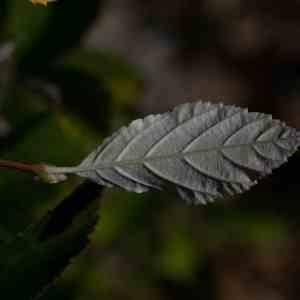 Photographie n°2334155 du taxon Sorbus L.