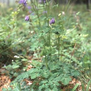 - Aquilegia vulgaris L. [1753]