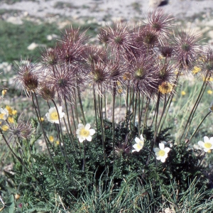 - Pulsatilla alpina subsp. apiifolia (Scop.) Nyman [1878]