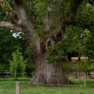 - Quercus robur L.