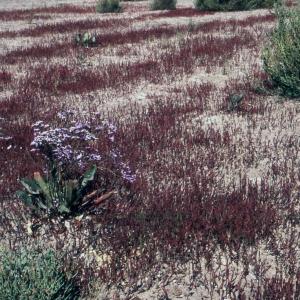 Salicornia emericii Duval-Jouve [1869] (Shiny Glasswort)