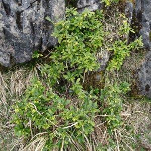 Photographie n°2334480 du taxon Daphne laureola L. [1753]