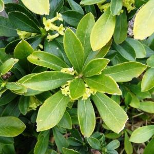 Photographie n°2334481 du taxon Daphne laureola L. [1753]