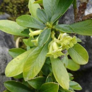 Photographie n°2334482 du taxon Daphne laureola L. [1753]