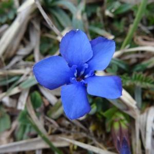 - Gentiana verna subsp. verna