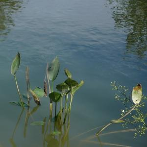 - Alisma plantago-aquatica L. [1753]