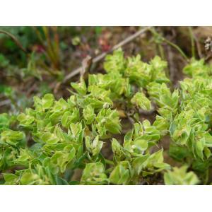Euphorbia falcata L. subsp. falcata (Euphorbe à cornes en faucille)