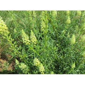 Reseda lutea L. subsp. lutea (Réséda bâtard)