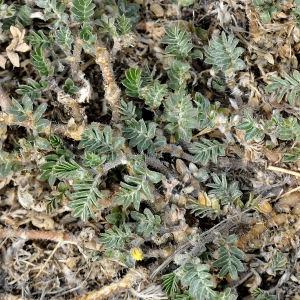 Photographie n°2334741 du taxon Tribulus terrestris L. [1753]