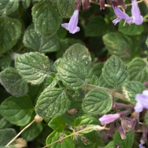 - Clinopodium acinos (L.) Kuntze