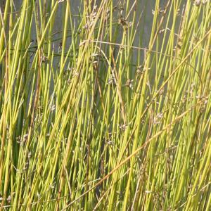 Photographie n°2334898 du taxon Schoenoplectus lacustris (L.) Palla [1888]