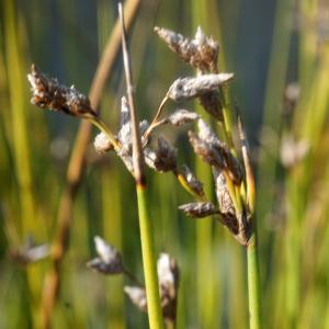 Photographie n°2334902 du taxon Schoenoplectus lacustris (L.) Palla [1888]