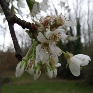 Photographie n°2334975 du taxon Prunus avium (L.) L. [1755]