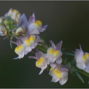 Photographie n°2335028 du taxon Linaria repens (L.) Mill. [1768]