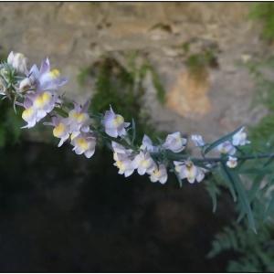 - Linaria repens (L.) Mill.