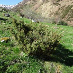 - Juniperus communis L. [1753]