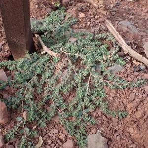 Photographie n°2335206 du taxon Euphorbia prostrata Aiton