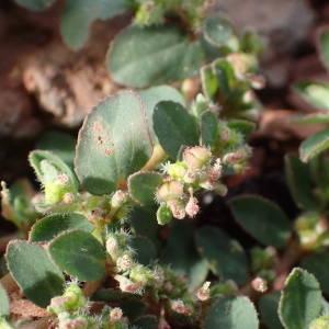 - Euphorbia prostrata Aiton