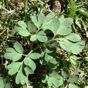 - Corydalis solida (L.) Clairv.