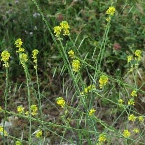 Photographie n°2335447 du taxon Erucastrum incanum (L.) W.D.J.Koch