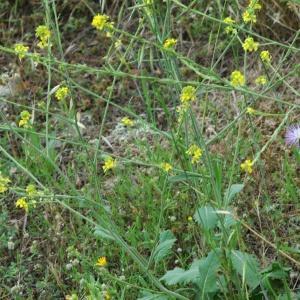 Photographie n°2335448 du taxon Erucastrum incanum (L.) W.D.J.Koch