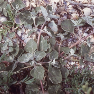 Atriplex tatarica subsp. tornabenei (Tineo) C.Blanche, Molero & Rovira (Arroche)