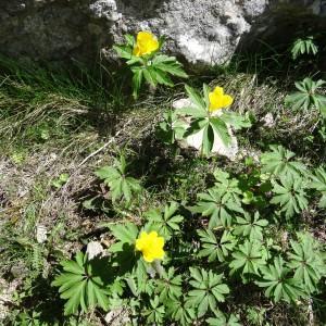 - Anemone ranunculoides subsp. ranunculoides