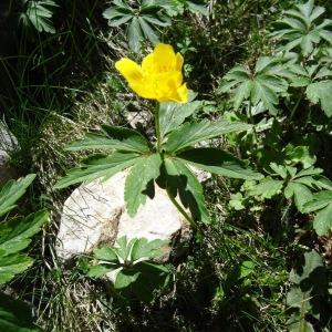 Photographie n°2335531 du taxon Anemone ranunculoides subsp. ranunculoides