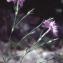 Liliane Roubaudi - Dianthus hyssopifolius subsp. monspessulanus (L.) Graebn. & P.Graebn. [1922]