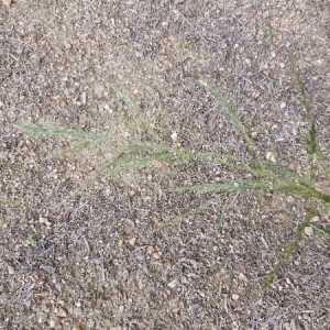 Photographie n°2335633 du taxon Agrostis capillaris L. [1753]