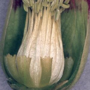 Photographie n°2335754 du taxon Helleborus foetidus L. [1753]