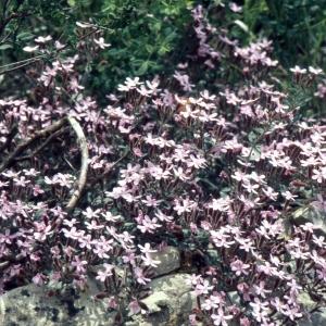 Photographie n°2335816 du taxon Saponaria ocymoides L.