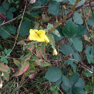 Photographie n°2335840 du taxon Oenothera biennis L. [1753]