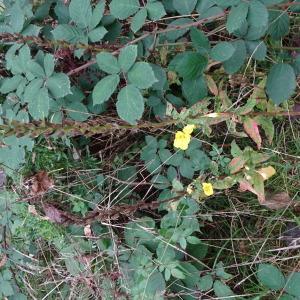 Photographie n°2335841 du taxon Oenothera biennis L. [1753]