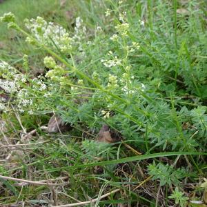 Photographie n°2335845 du taxon Galium palustre L. [1753]