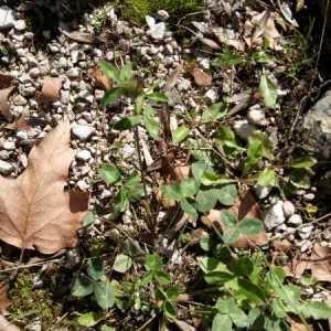 Photographie n°2335875 du taxon Trifolium pratense L. [1753]