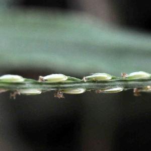 Photographie n°2335963 du taxon Digitaria ciliaris (Retz.) Koeler [1802]