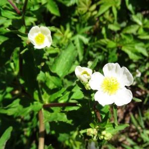 - Ranunculus aconitifolius L. [1753]