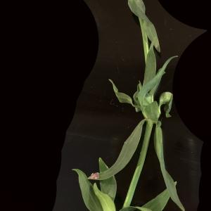 Photographie n°2336061 du taxon Centranthus ruber (L.) DC. [1805]