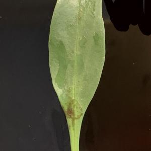 Photographie n°2336069 du taxon Centranthus ruber (L.) DC. [1805]