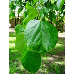 Tilia platyphyllos subsp. cordifolia (Besser) C.K.Schneid. (Tilleul à feuilles cordées)