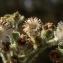 Mesembryanthemum crystallinum L. [nn111990] par Liliane Roubaudi le 10/04/1982 - Maroc