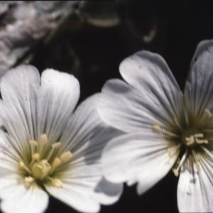 Cerastium uniflorum Clairv. [1811] (Céraiste à fleurs solitaires)