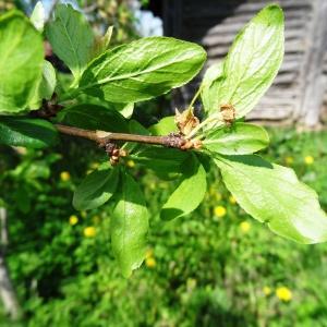 Photographie n°2336581 du taxon Prunus avium (L.) L. [1755]