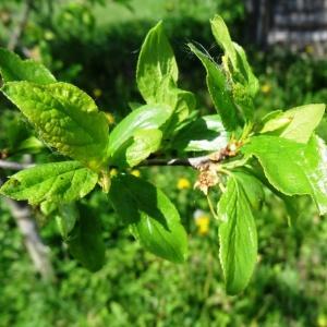 Photographie n°2336583 du taxon Prunus avium (L.) L. [1755]