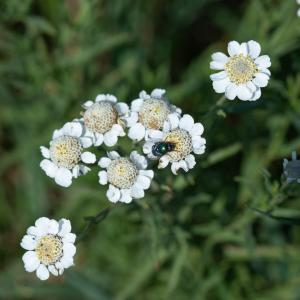 - Achillea ptarmica subsp. pyrenaica (Sibth. ex Godr.) Heimerl