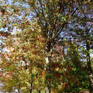 Photographie n°2336764 du taxon Quercus palustris Münchh.