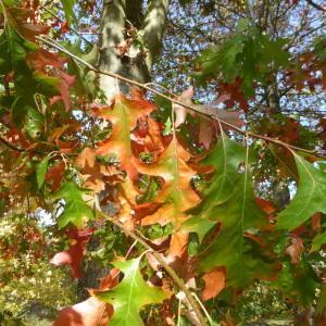 Photographie n°2336765 du taxon Quercus palustris Münchh.